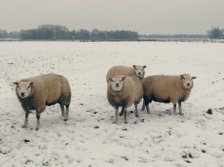 Sheep aren't white